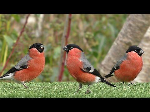 Oiseaux de Jardin - Garden Birds - Hagefugler - Gartenvögel - Tuinvogels - Trädgårdsfåglar