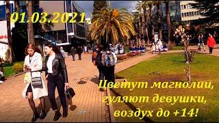 Цветет магнолия гуляют девушки воздух до 14 Весна в Сочи ЛАЗАРЕВСКОЕ СЕГОДНЯ СОЧИ