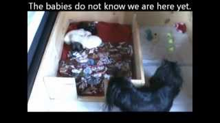 4 Week Old Pekingese Puppy is ALREADY Puppy Pad Trained!