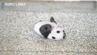 Cute alert! Teeny-weeny panda cub on its back tries to flip over for one minute straight.