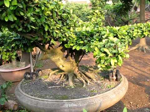 cây cảnh Văn giang Hưng yên