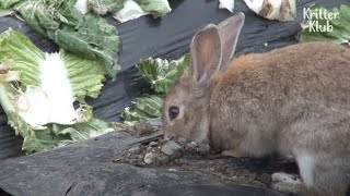 For What Reason Would Alpha Rabbits Abandon Baby Bunnies In A Burrow? | Kritter Klub