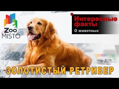 Золотистый ретривер - Интересные факты о породе  | Собака породы золотистый ретривер
