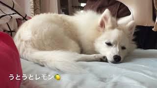 わたちレモン<ねむたいな〜> 犬種は日本スピッツ Japanese Spitz うと...