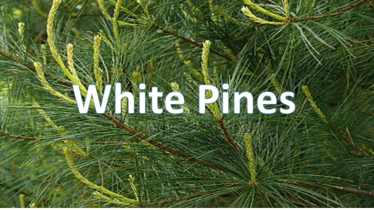 white pines youtube