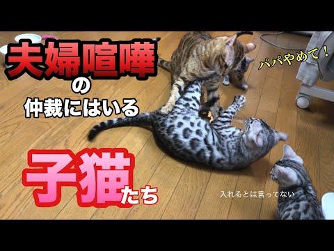 子猫のかわいい行動!夫婦喧嘩の仲裁に入ると…A cute kitten mediates fight
