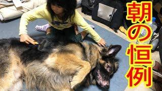 大型犬・#ジャーマンシェパード犬・マック君 朝の河川敷散歩 この時期は...