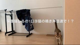 保護猫しろの1日㉘ 猫の鳴き声倍速にすると!?