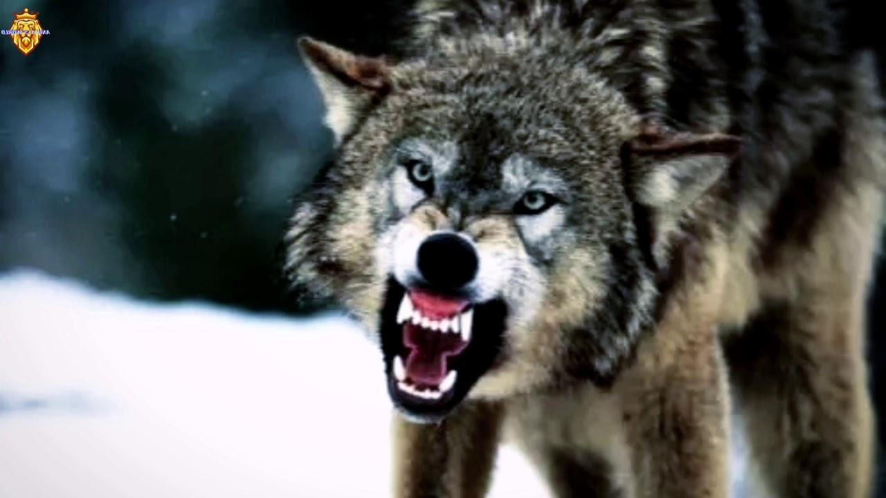 صوت الذئب فطحل 8 14