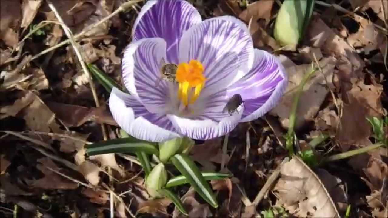 The First Flower Of Spring Crocus In Bloom Youtube