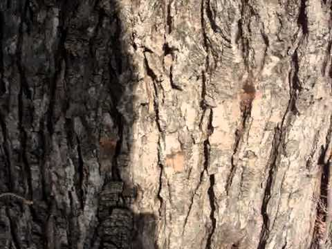 Tapping Silver Maple - Willis, MI