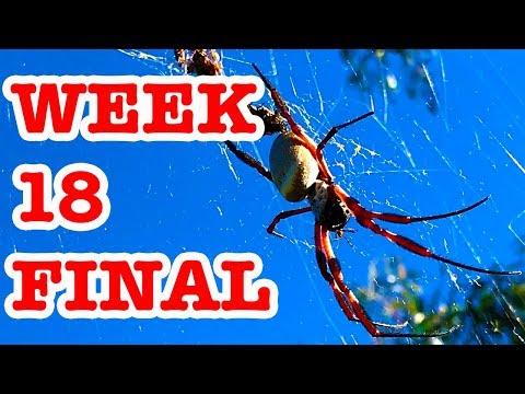 Redback Spider Deadly Bush Surprise & Giant Golden Orb Week 18 FINAL