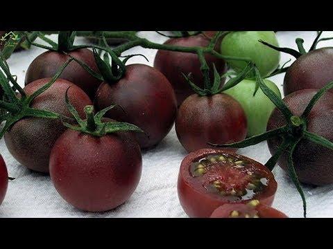 Вопрос: Почему поспевают снятые с ветки томаты?