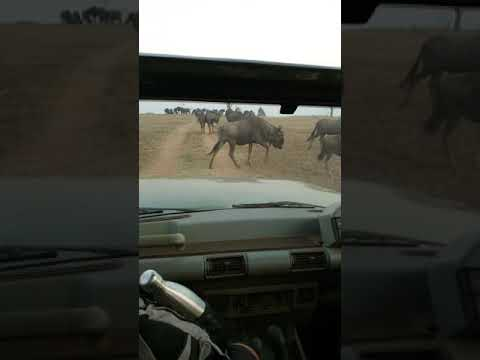 Eland and Wildebeest in Africa