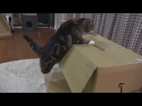 乗りたいねこ。-Maru wants to get on the box.- - YouTube
