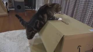 乗りたいねこ。-Maru wants to get on the box.-