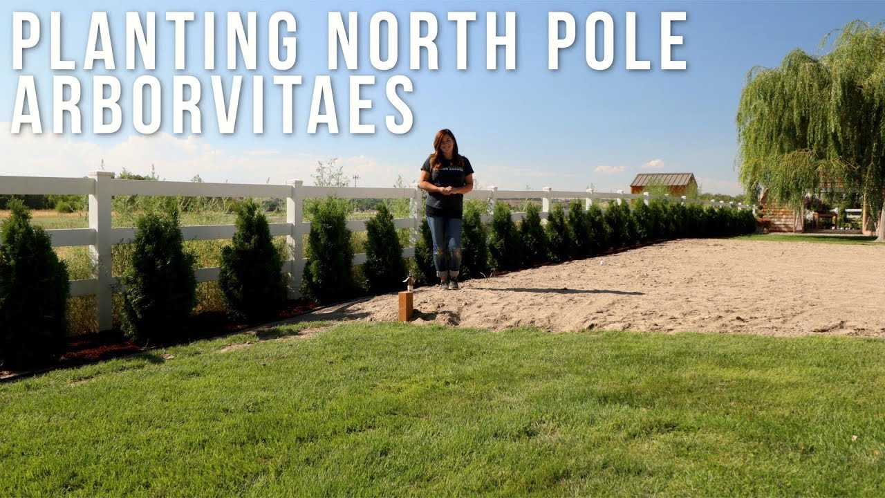 Finally Planting the North Pole Arborvitaes // Garden Answer