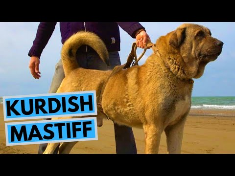 Kurdish Mastiff - Pshdar Dog - Pejdar Dog - Facts and Information