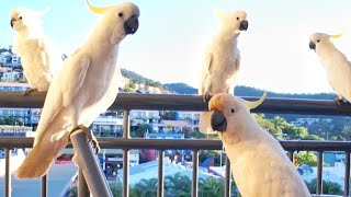Funny Cockatoos video Invasion Whitehaven Beach Australia Queensland (Parrots Birds)