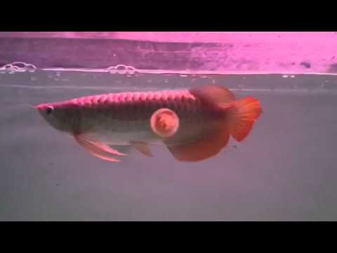 "RDC Collections: ""Peanut"" Indonesian super red arowana 35cm"