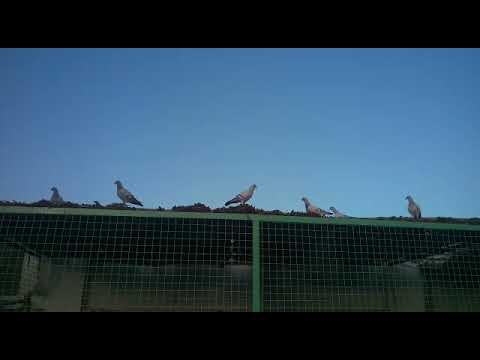 Ours Damascene Pigeons in Khanpur Farm House 03459442750 Zain Ali Farming in Pakistan