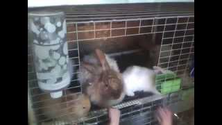 French Angora rabbit litter 5 weeks old