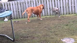 Blue Staffy Vs Dogue De Bordeaux Dog Fight