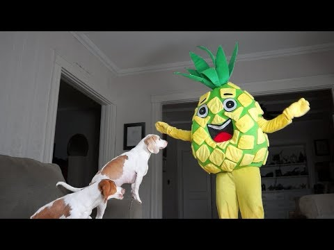 Funny Dogs vs Giant Pineapple Prank: Funny Dogs Maymo & Potpie