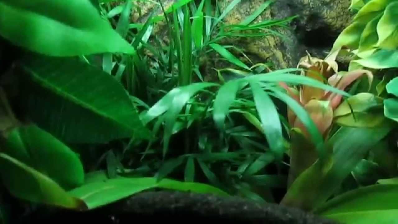 Crested gecko naturalistic Jungle terrarium w/ live plants ...