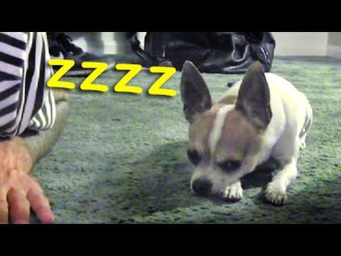 How to make your dog sleeping - Nic and Pancho meditation