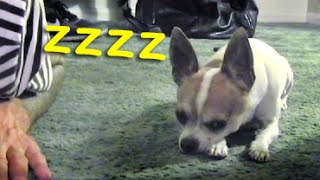 How to make your dog sleeping - Nic and Pancho meditation
