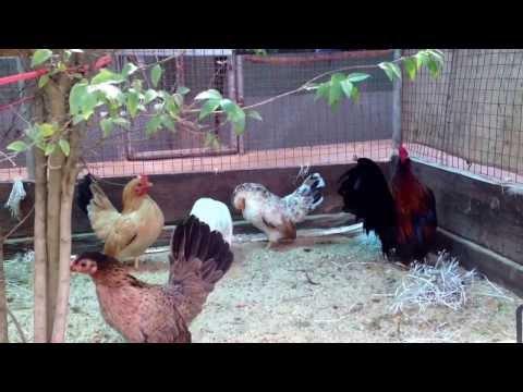 ไก่ซารามอ TN ฟาร์ม 081-9438143
