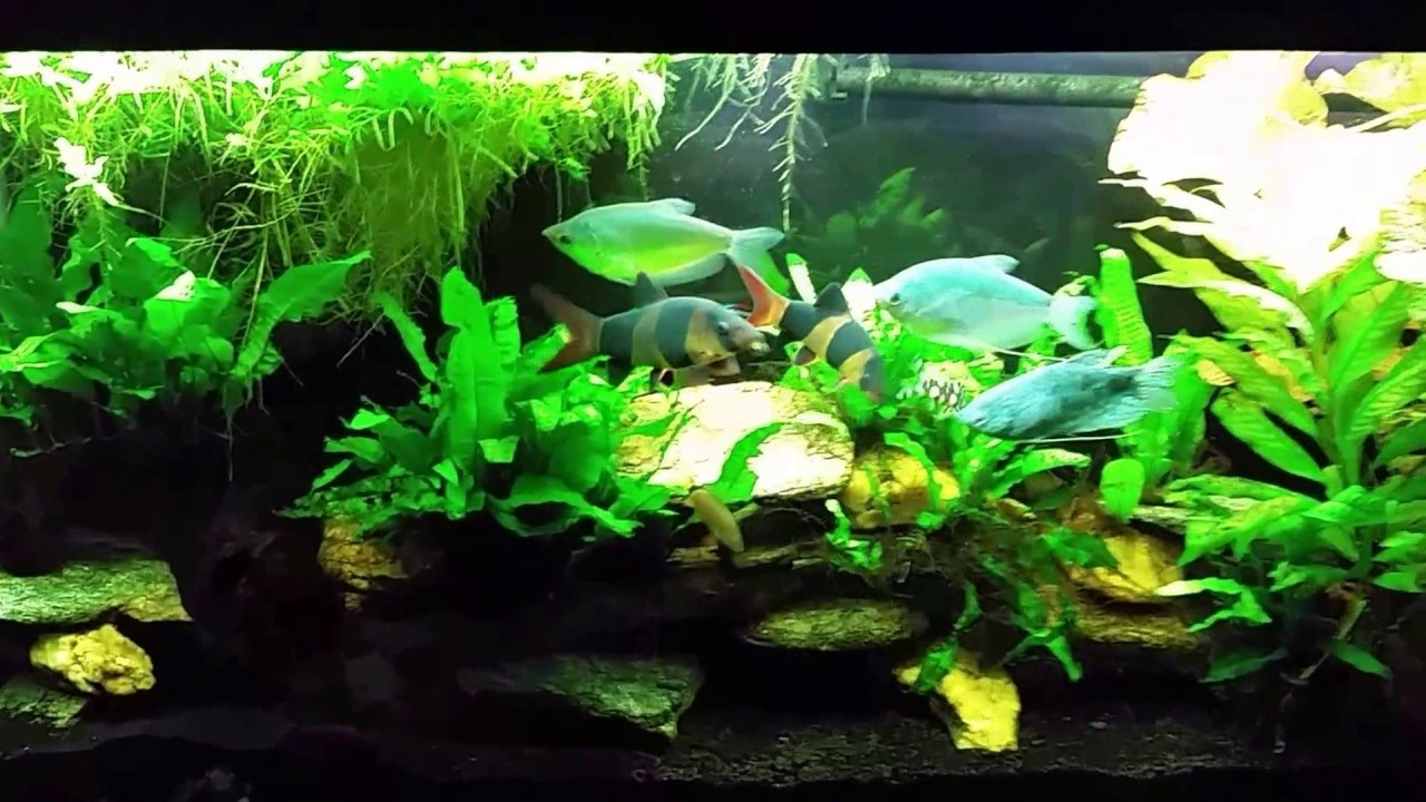Freshwater aquarium fish dying after water change - Gourami Tank Before After Water Change 3 15 17
