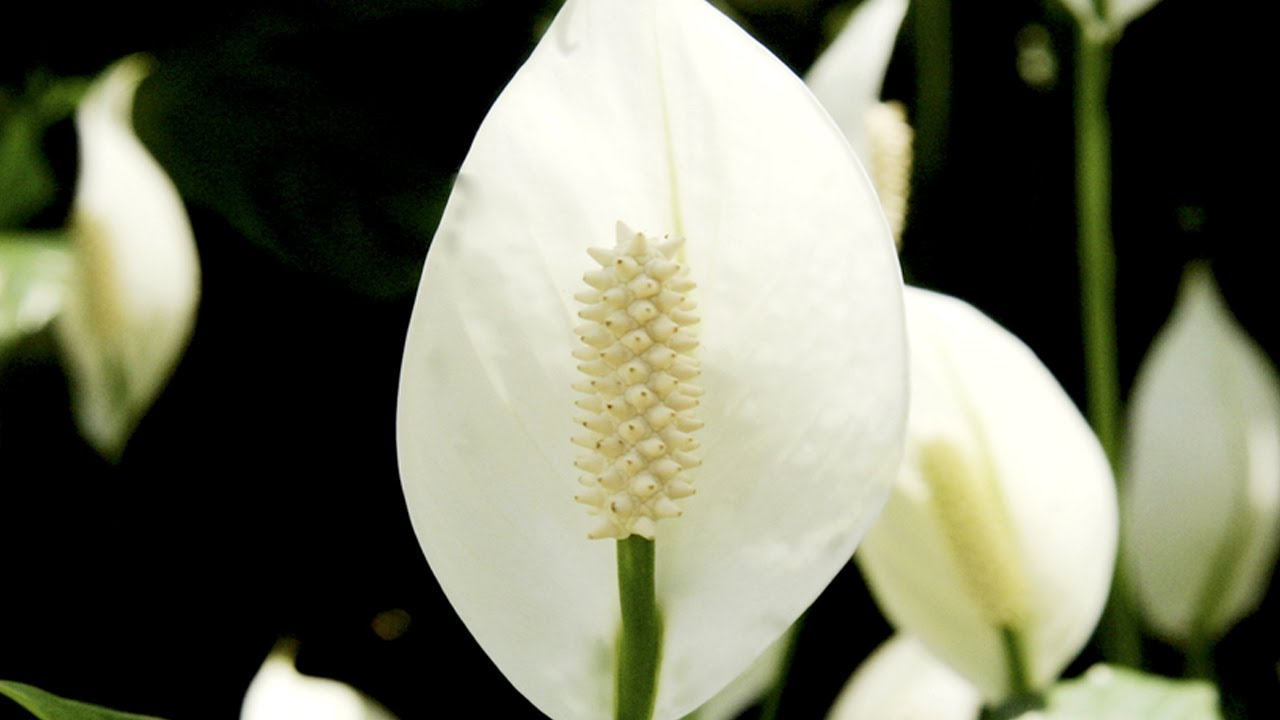 How to care for a peace lily at home with p allen smith youtube izmirmasajfo Choice Image