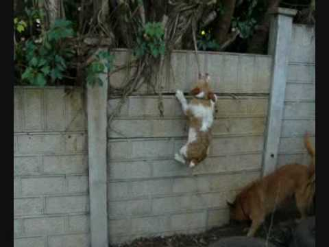 Jack Russell Swinging From Vine