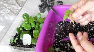 Пересадка деток сенполии легко вырастить из маленьких листиков и фрагментов листа