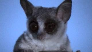 """Lesser Bush baby (""""Small  night predator"""") -- Galagone minore (""""Piccolo predatore notturno"""")"""