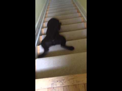 'Stair-Surfing' Chocolate Lab Puppy Goes Down Steps With Style, Grace, Enthusiasm (VIDEO)