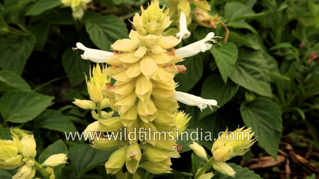 White Salvias And Dianthus Grow In Southern India Youtube