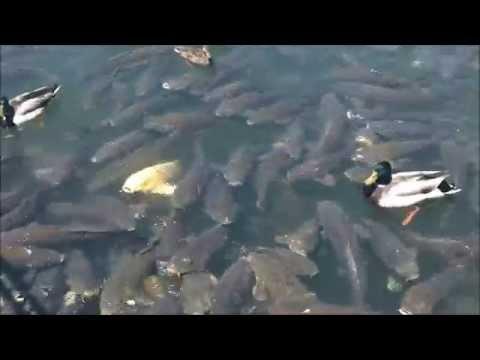 Feeding Carp At Joe Pool Lake May 2014 Youtube