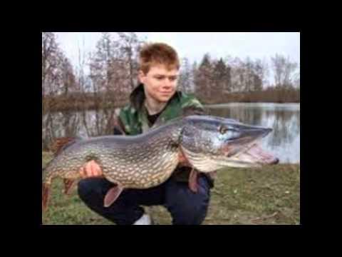 Les plus beau poisson d 39 eau douce carpe silure sandre for Poisson les plus cuisiner