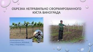 Обрезка неправильно сформированного куста, культура винограда неукрывная. Хисамутдинов АФ.