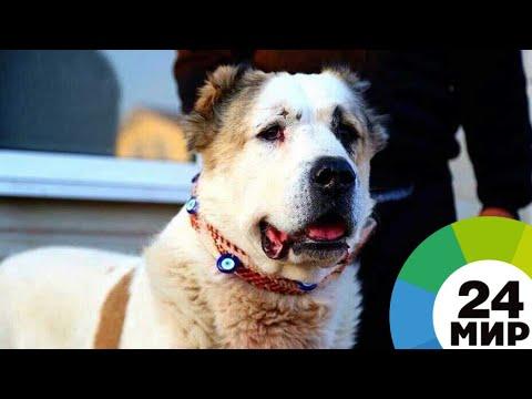 Собаки-великаны: в Кыргызстане разводят азиатских волкодавов - МИР 24