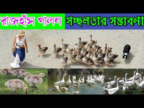 Download বাণিজ্যিকভাবে রাজহাঁস পালন করে লাভবান হওয়ার কৌশল / রাজহাঁস পালন পদ্ধতি / raj has palon
