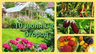 Наши 6 соток в начале июля Все цветет Все спеет Перец, помидоры, баклажаны..