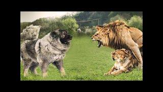 ライオンは簡単に1つのOvcharkaを殺すことができますが、そのうち7つを...