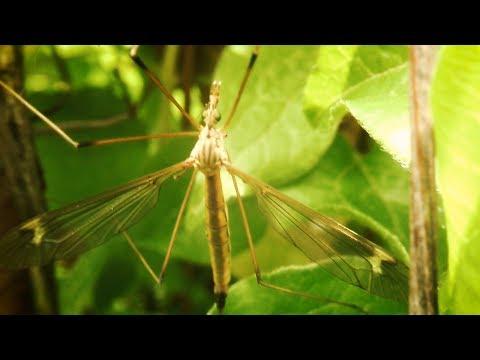 МАЛЯРИЙНЫЙ комар или комар ДОЛГОНОЖКА? Описание. Стоит ли бояться? Карамора. Большой комар.