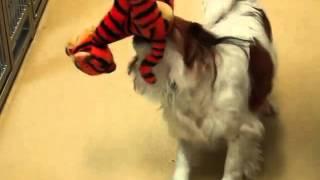 Buckley, A Pekingese/spaniel, Cavalier King Charles