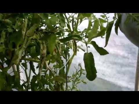Tying Up Tomato Plants After A Storm