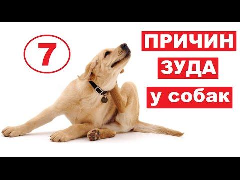 Вопрос: Как успокоить зуд ушей у собаки?